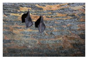 mathieu-ausanneau-petit-rhinolophe-01
